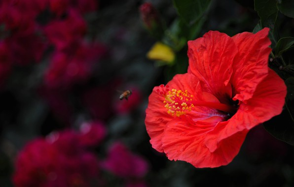 Picture flower, summer, macro, red, the dark background, bee, stamens, insect, the bushes, hibiscus