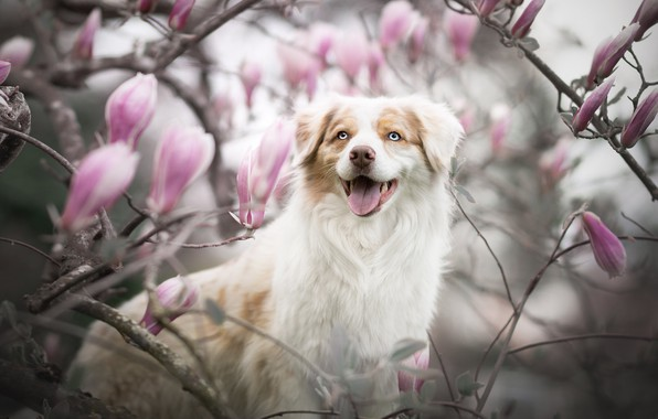 Picture language, look, face, branches, smile, dog, blur, flowering, flowers, Magnolia, Australian shepherd, Aussie