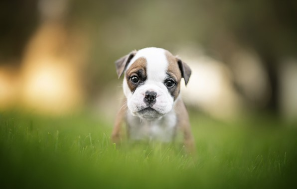 Picture grass, baby, puppy, bulldog, face, bokeh