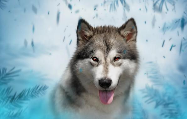 Picture background, spruce, dog, husky