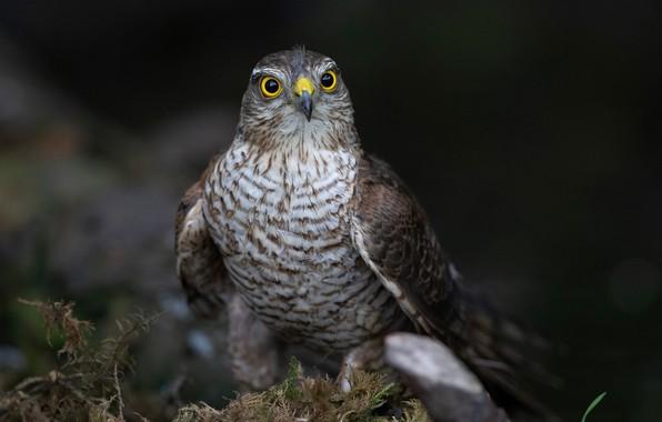Picture nature, background, bird, moss, feathers, beak, hawk, bokeh