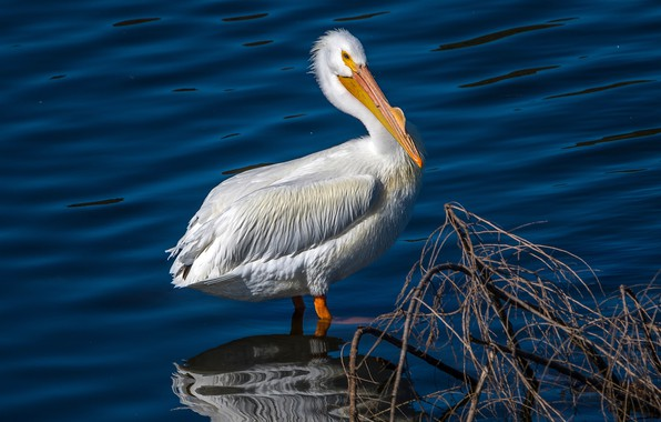 Picture water, the sun, reflection, bird, white, Pelican