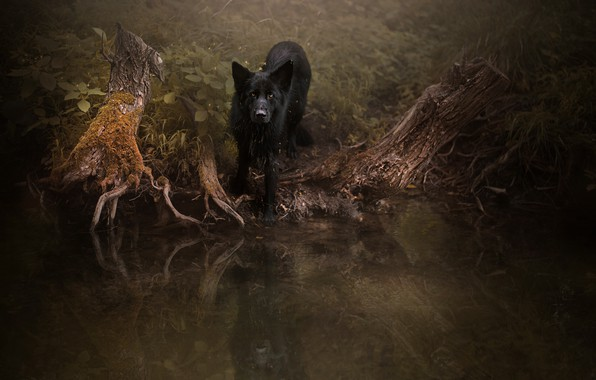 Picture forest, look, roots, reflection, the dark background, thickets, dog, black, walk, pond, German shepherd, driftwood