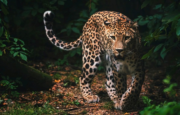 Picture look, face, leaves, nature, pose, the dark background, thickets, predator, paws, mouth, leopard, tail, wild …