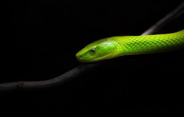 Picture nature, snake, Uzkogolovyj Mamba