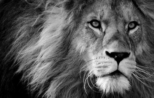 Picture look, face, Leo, muzzle, sight, muzzle, a lion