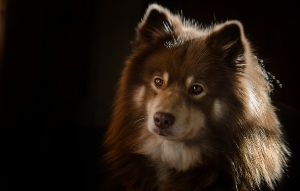 Picture look, face, portrait, dog, the dark background, Finnish lapphund