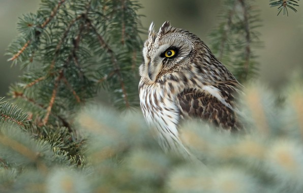 Picture branches, owl, bird, blur, Short-eared owl