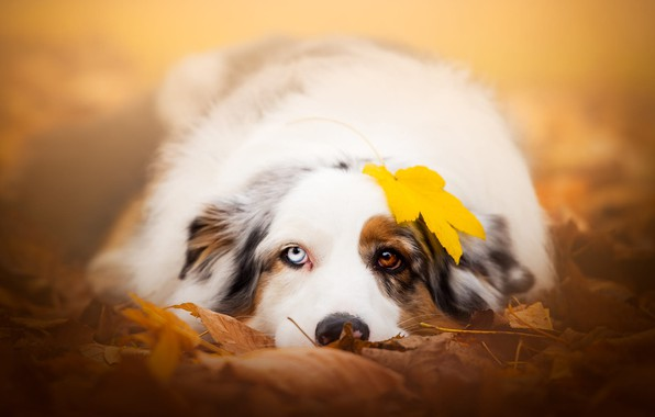 Picture autumn, look, face, leaves, yellow, nature, sheet, background, mood, foliage, leaf, portrait, dog, lies, different …
