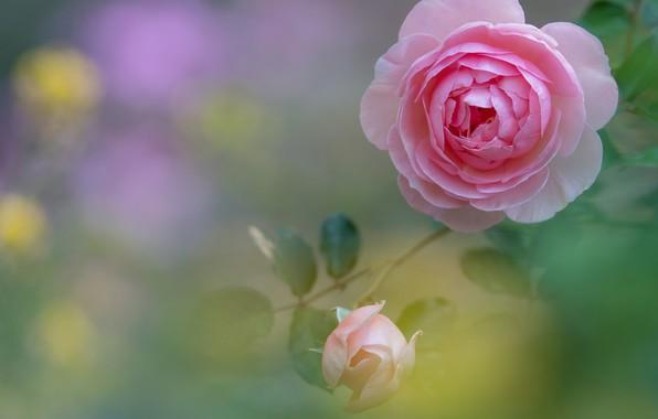 Picture pink, rose, Bud, bokeh