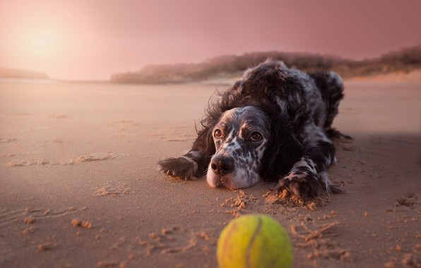 Picture sand, beach, look, face, light, background, pink, shore, toy, the ball, dog, the evening, puppy, …