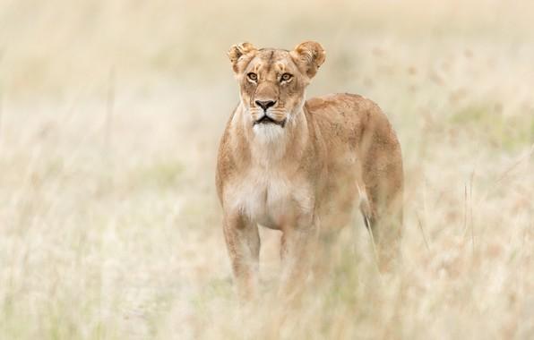 Picture grass, Savannah, Africa, lioness, wild cat