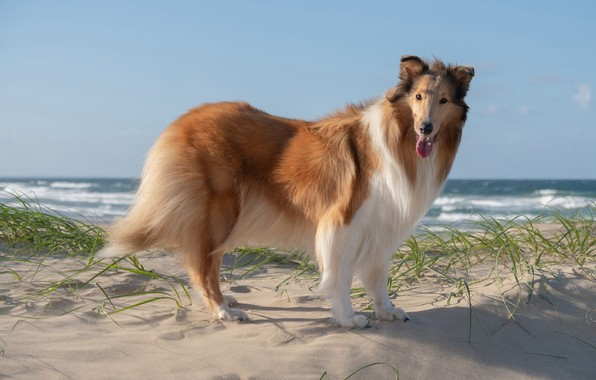 Picture sand, sea, beach, look, shore, dog, handsome, dog, collie
