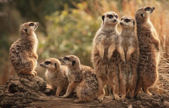 Picture animals, nature, group, meerkats, company, a lot, stand, meerkat, meerkat