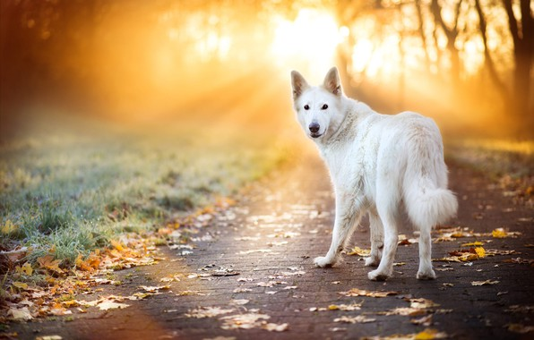 Picture road, autumn, grass, look, leaves, rays, light, trees, pose, Park, foliage, tile, dog, white, the …