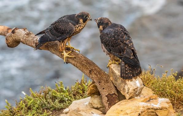 Picture grass, birds, nature, stones, branch, bokeh, falcons, Peregrine Falcon