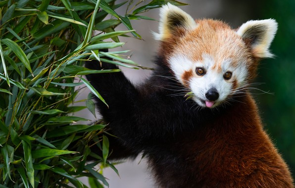 Picture greens, language, look, face, leaves, branches, pose, background, paws, red Panda, red Panda, meal