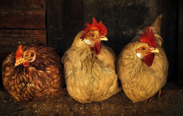 Picture treatment, chicken, three, coop, trio, chicken, cock, sitting, chickens, hen