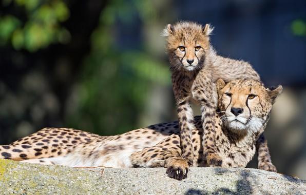Picture light, stone, baby, pair, Cheetah, cub, mom, two, lie, bokeh, cheetahs