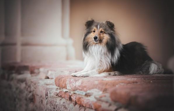 Picture dog, Sheltie, Shetland Sheepdog