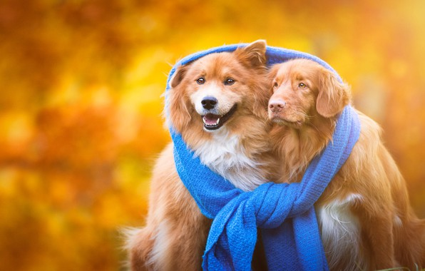 Picture autumn, dogs, heat, background, scarf, puppies, friendship, pair, gold, red, a couple, friends, unity, breed, …