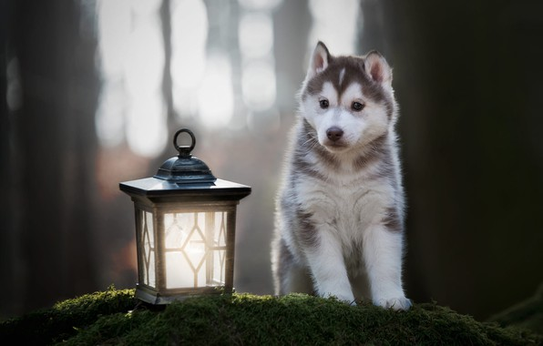 Picture forest, look, light, trees, pose, Park, background, moss, dog, paws, baby, lantern, cute, puppy, face, …
