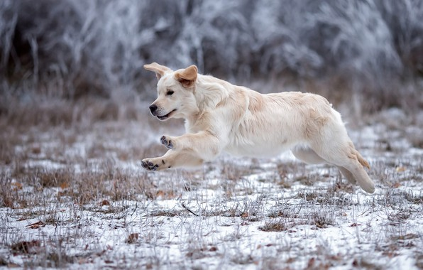 Picture winter, frost, white, grass, snow, nature, pose, background, jump, dog, paws, running, puppy, walk, ears, …