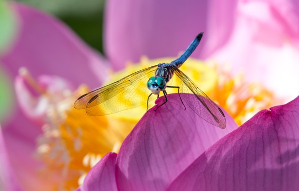 Picture flower, macro, pink, blur, dragonfly, petals, Lotus, insect