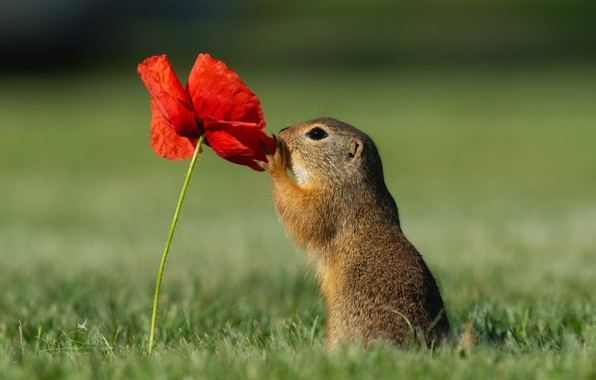 Picture flower, grass, nature, animal, Mac, gopher, animal, rodent