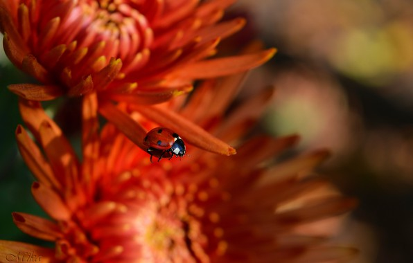 Picture Flowers, Ladybug, Flowers, Insect