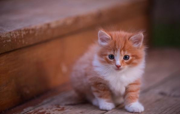 Picture cat, look, pose, kitty, background, Board, fluffy, red, muzzle, stage, kitty, sitting, blue-eyed