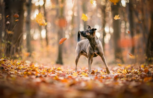 Picture autumn, forest, look, leaves, light, trees, nature, pose, Park, background, foliage, dog, puppy, walk, is, …