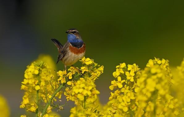 Picture flowers, background, bird, rape, Bluethroat