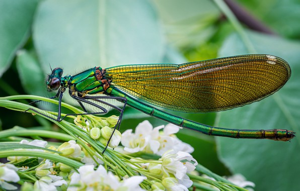 Wallpaper macro, Dragonfly, Green, Shine