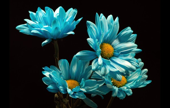 Picture flowers, chrysanthemum, the dark background