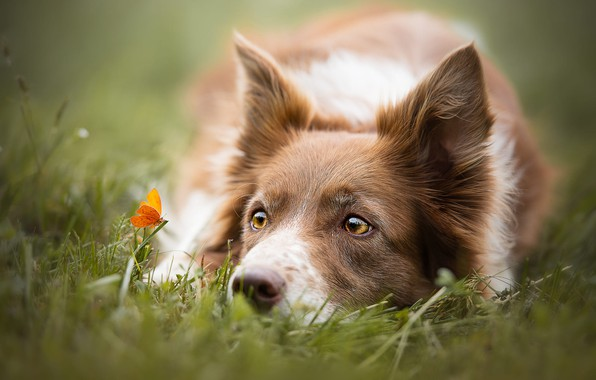 Picture summer, grass, eyes, look, face, close-up, nature, butterfly, glade, portrait, dog, orange, yellow, meadow, lies, …