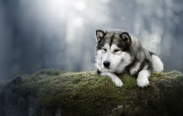 Picture background, moss, dog, Alaskan Malamute