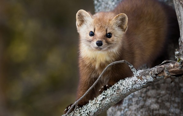 Picture look, nature, pose, background, tree, branch, muzzle, trunk, animal, marten