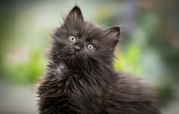 Picture background, black, fluffy, kitty