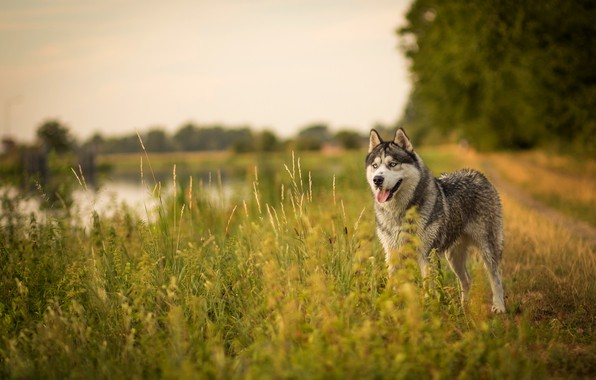 Picture road, field, language, summer, the sky, grass, look, face, trees, nature, pose, shore, dog, pond, …