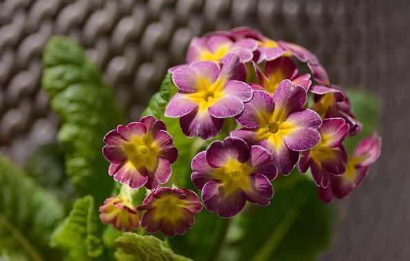 Picture leaves, macro, flowers, petals, flowering, bokeh, pots, Primula
