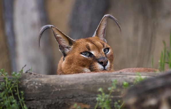 Picture muzzle, ears, Caracal, looking into the soul
