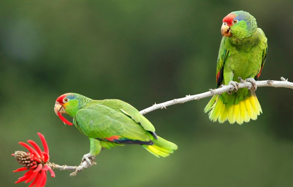 Picture flower, birds, background, branch, pair, parrots, Of eritrine, Selenodesy Amazon, Coral tree
