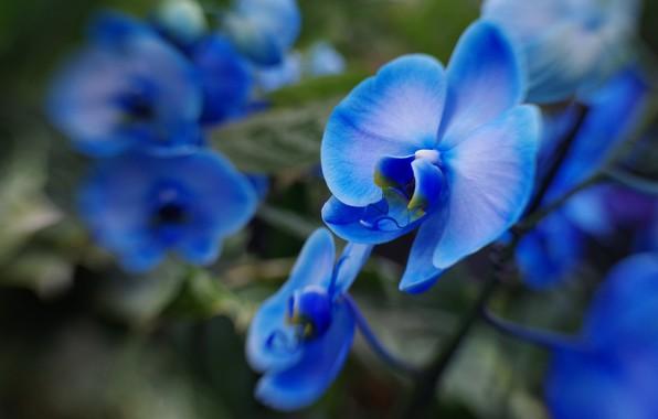 Picture macro, blur, blue, orchids