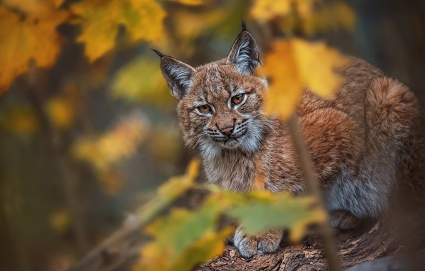 Picture autumn, look, leaves, predator, lynx, wild cat, bokeh