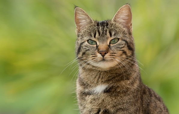 Picture cat, cat, look, face, grey, portrait, striped, green background