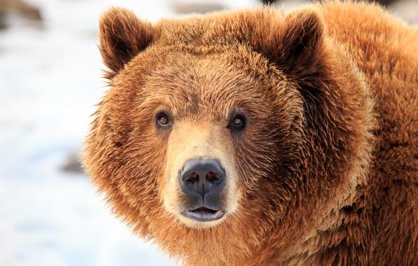 Picture wet, bear, look, fur