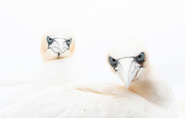 Picture birds, nature, Gannets