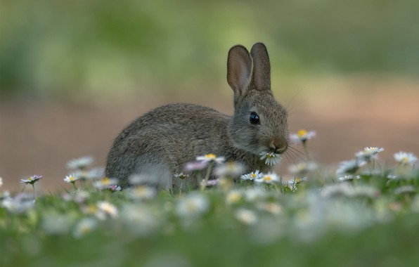Picture grass, hare, chamomile, meadow, bokeh