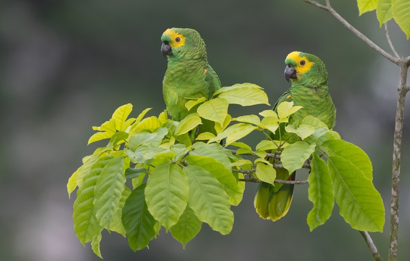 Picture leaves, birds, background, branch, parrots, a couple, Sidelobes Amazon